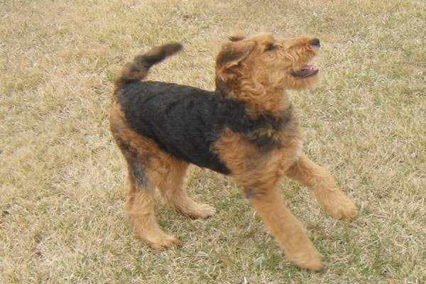 Airedale dog Terrier shedding