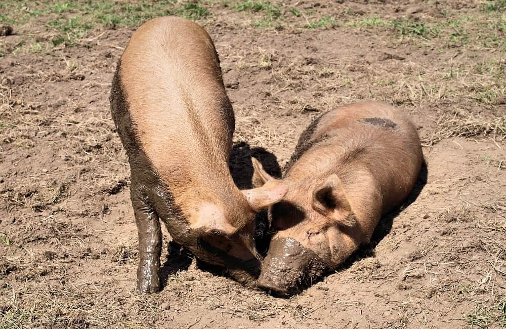 Animals that wallow in mud