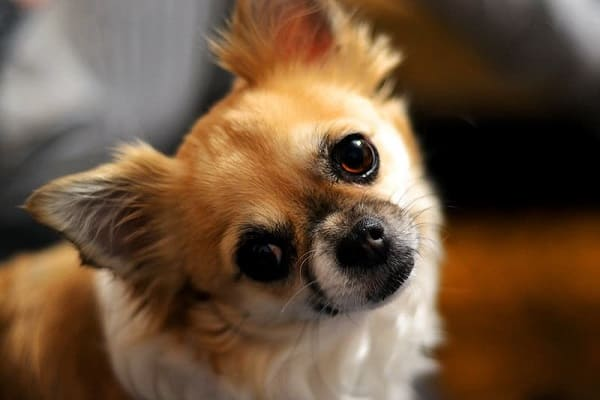 Why Chihuahuas Are Always Angry