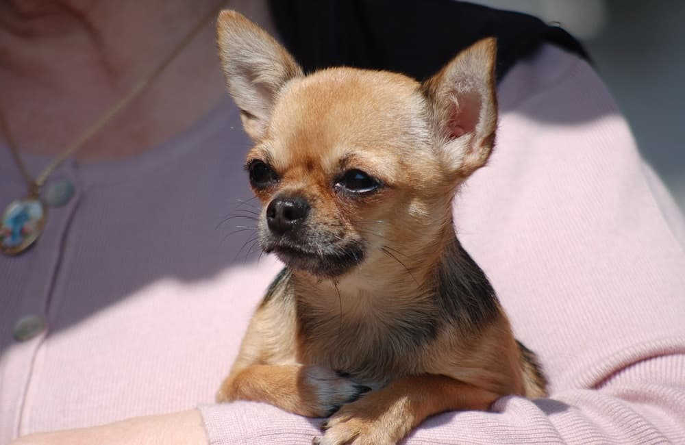 6Why Chihuahuas Are Always Angry