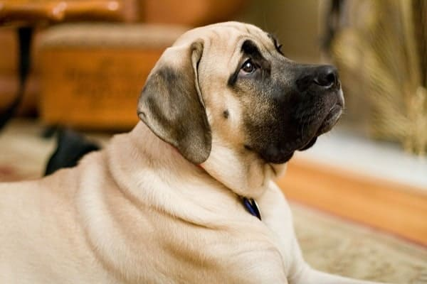 How Strong Is An English Mastiff