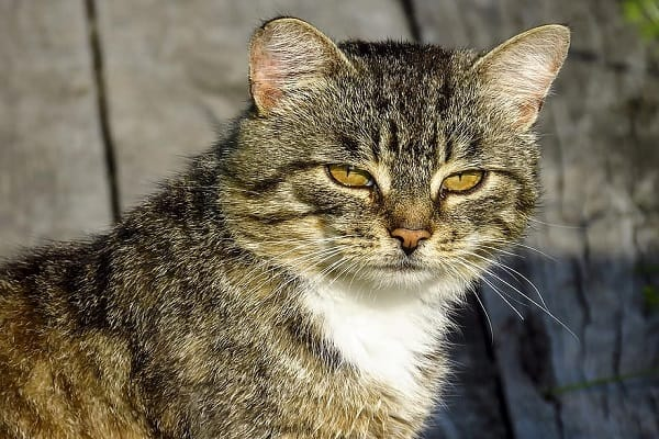 why do cats always look angry