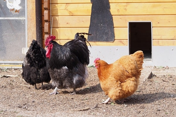 Why Do Hens Run Before Mating