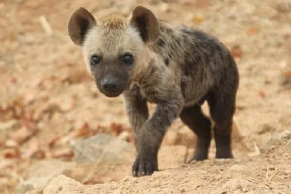 Can Hyenas Be Pets?