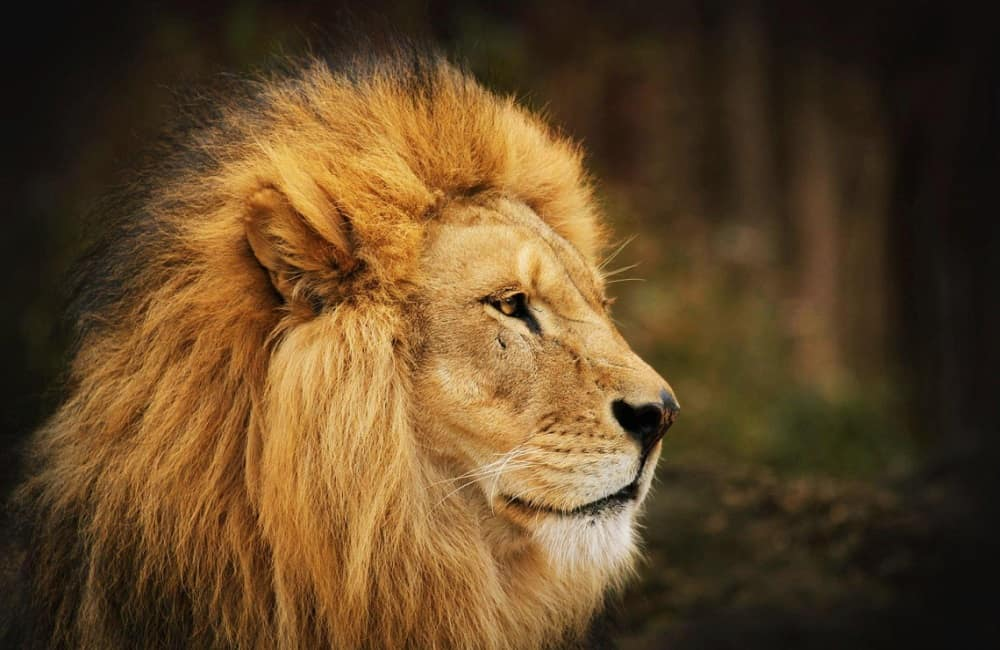 If You Raise A Lion Will It Attack You