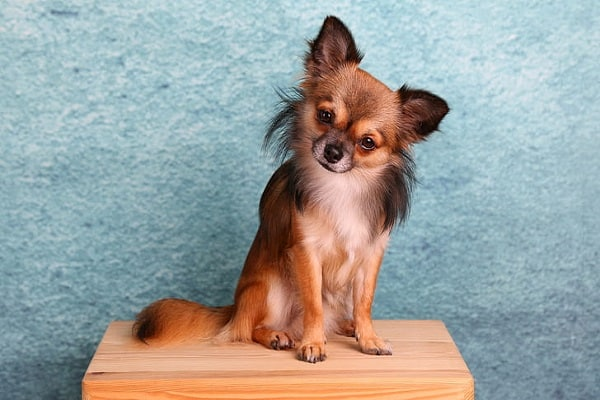 why chihuahuas are always angry?