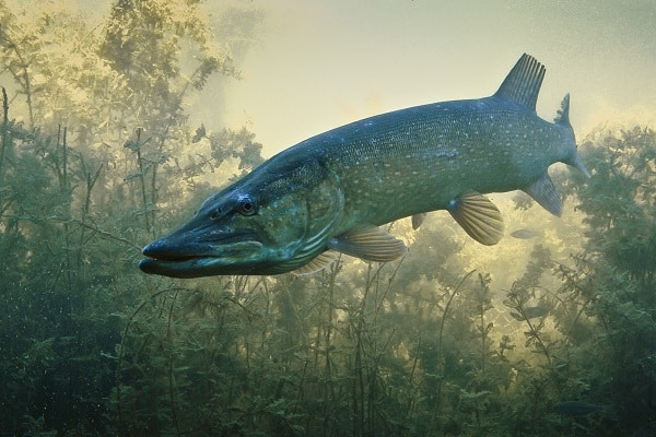 fish in river