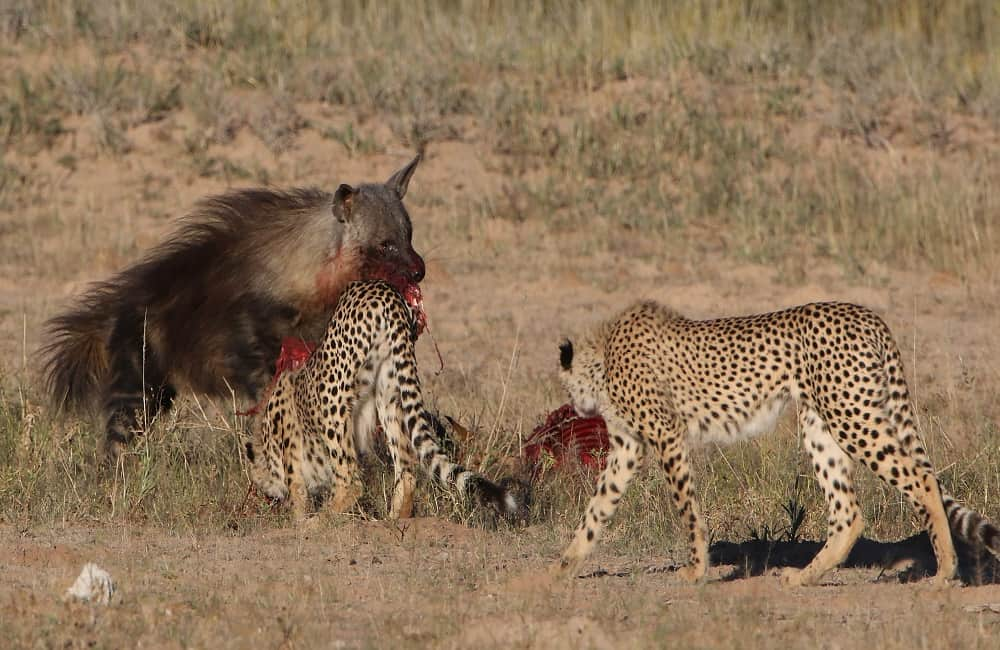 Why Are Cheetahs Scared Of Hyenas