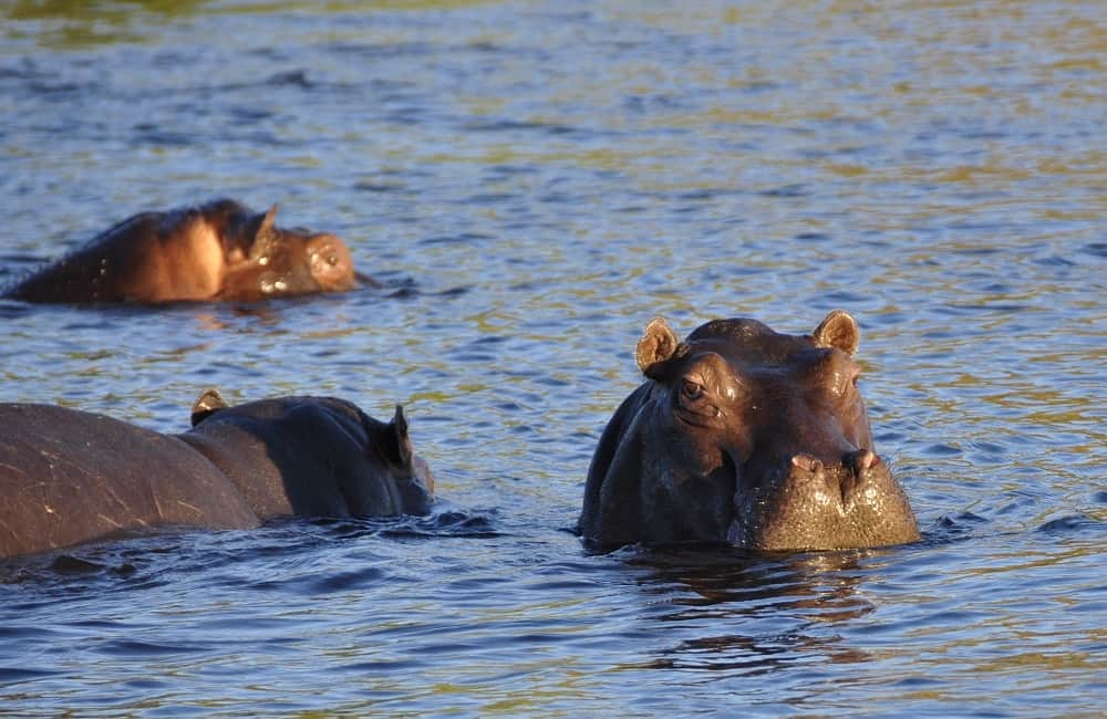 Can Hippos Be Domesticated