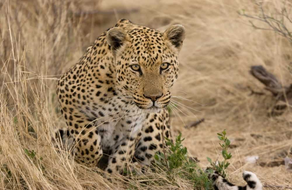 Why Are Leopards So Dangerous