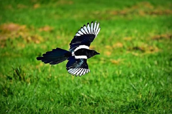 Can Magpies Be Pets