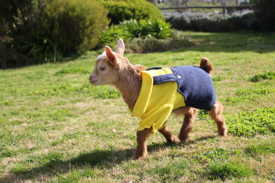 why don't animals wear clothes