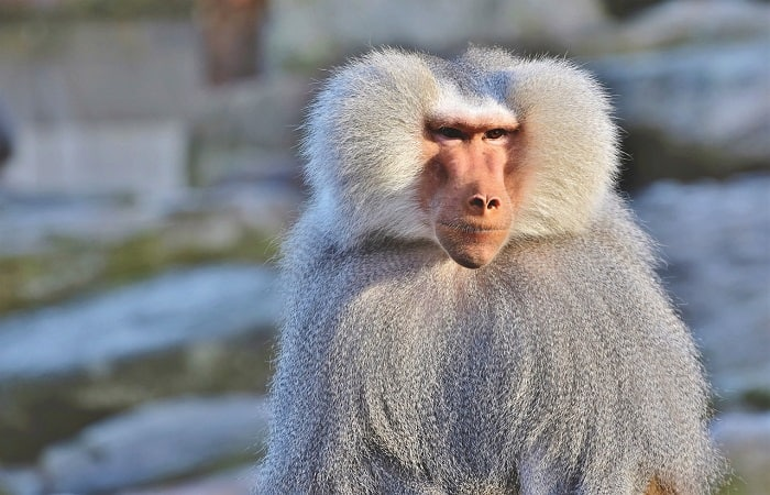Rafiki from The Lion King is a baboon