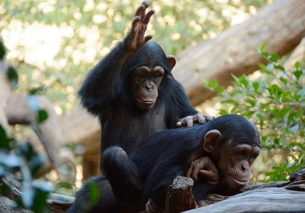 Bonobos can recognize themselves in the mirror