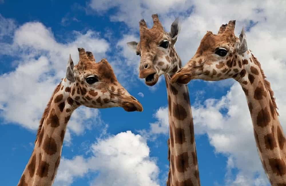 Can Giraffes Be Domesticated