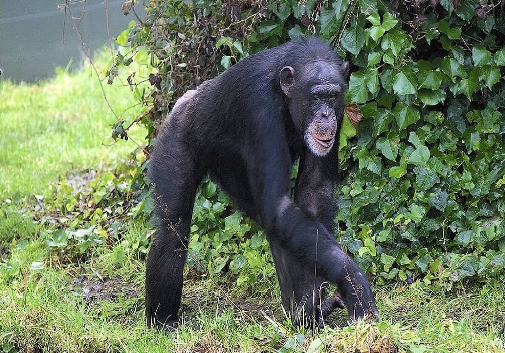 chimpanzees can recognize themselves in the mirror
