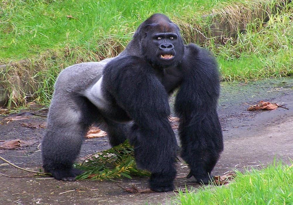 gorillas can recognize themselves in the mirror