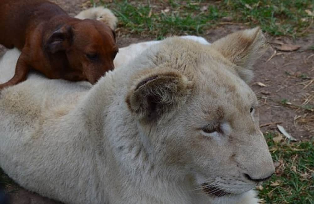 dog breed that can kill a lion