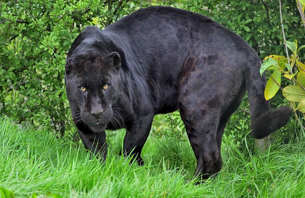 Can Panthers Be Kept As Pets