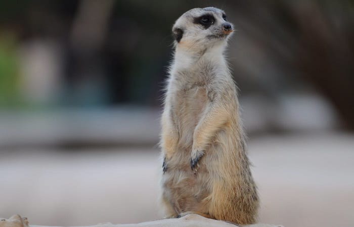 Timon from The Lion King is a meerkat