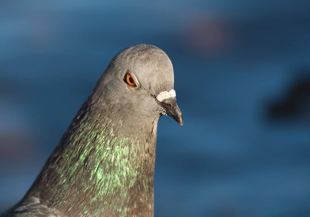 Pigeons can recognize themselves in the mirror