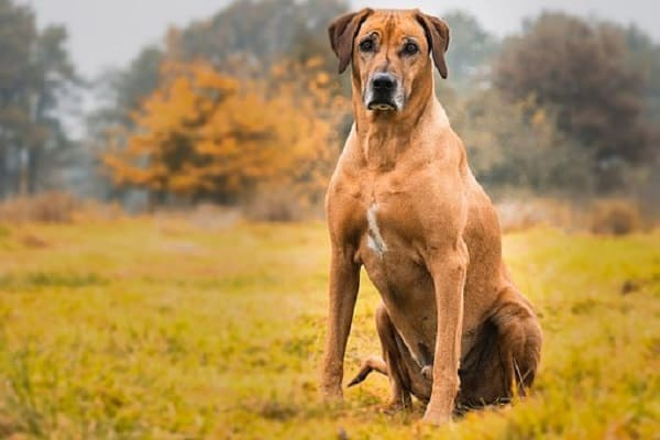 Dog Breeds That Can Kill A Lion