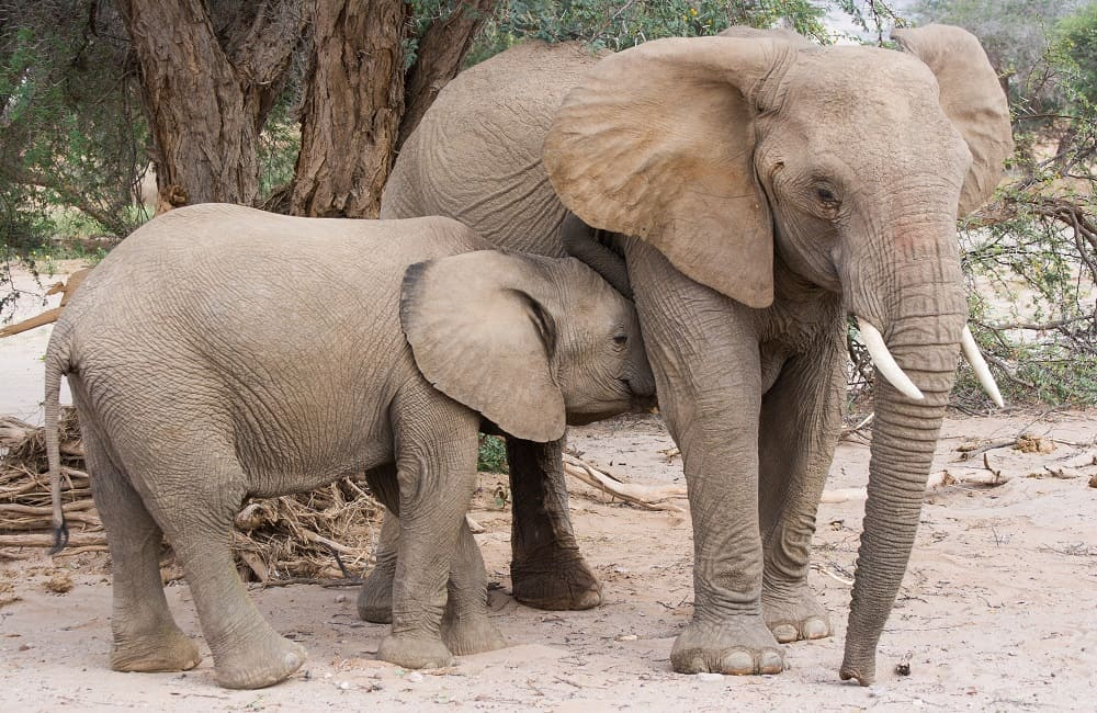 Why Do Elephants Obey Humans