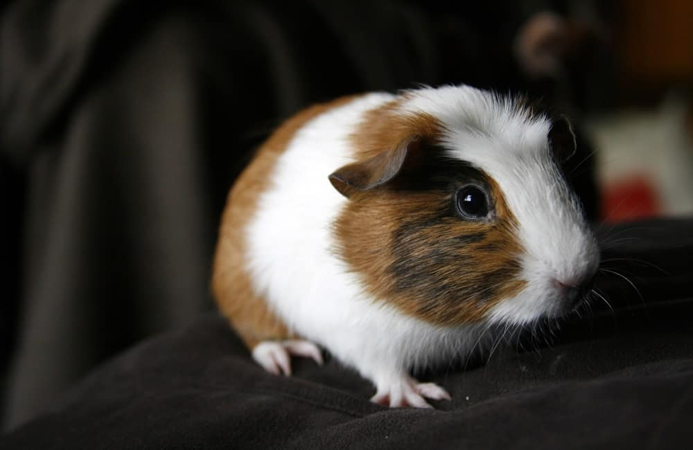 Can Guinea Pigs Wear Diapers
