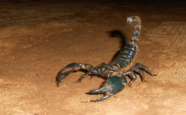 Can Scorpions And Tarantulas Live Together