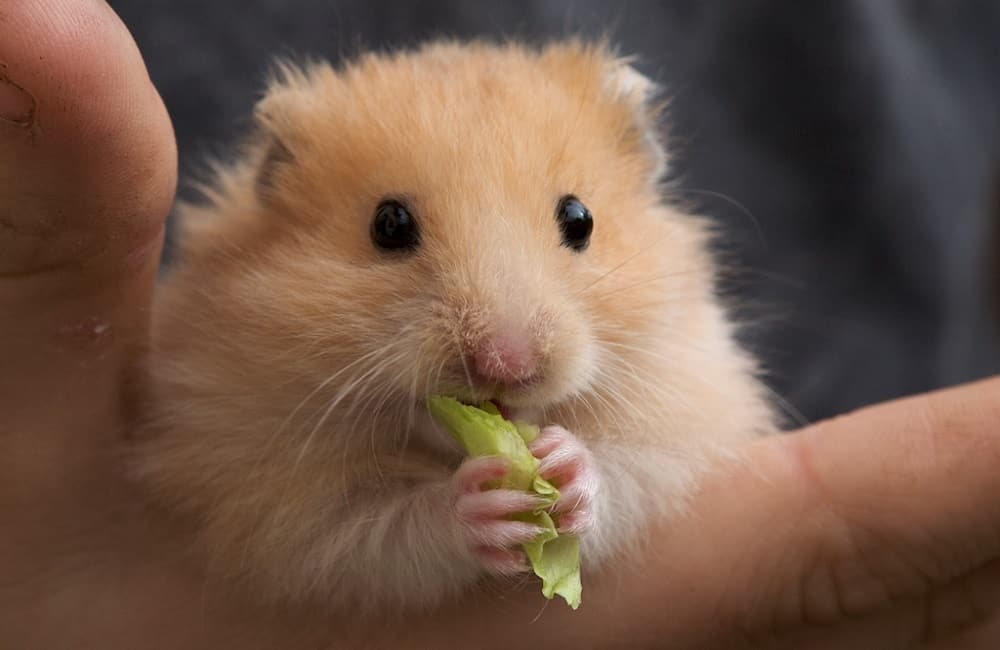 Do Hamsters Love Their Owners