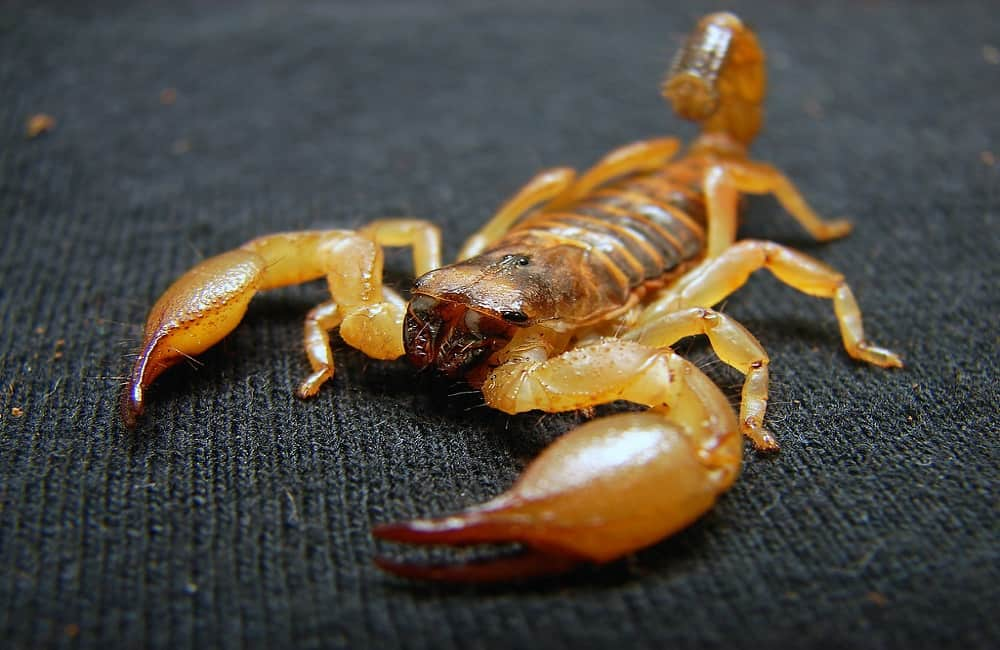 Do Scorpions Recognize Their Owners