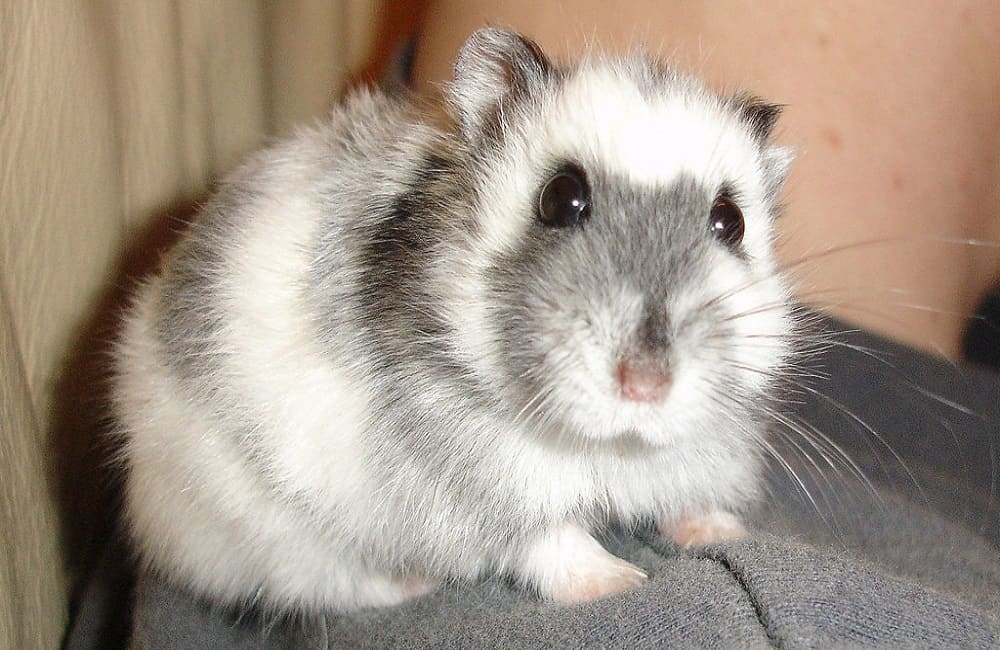 Are Harnesses Safe For Hamsters