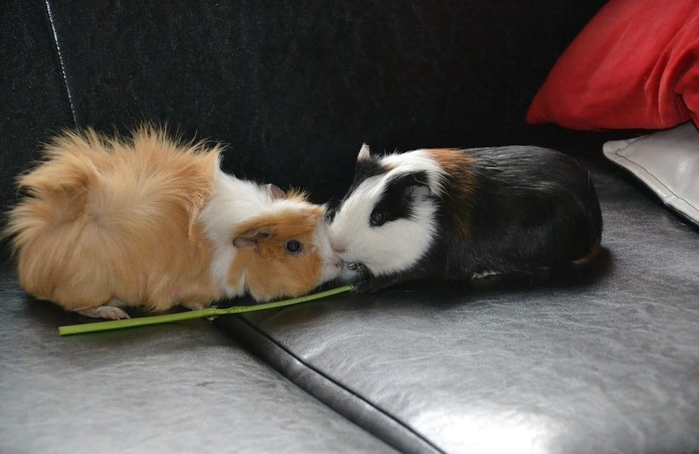 Can Ants Kill Guinea Pigs