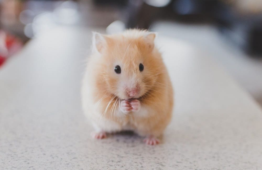 Can Hamsters Watch TV