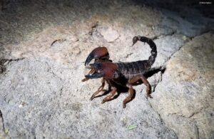 Can Scorpions Sting Themselves