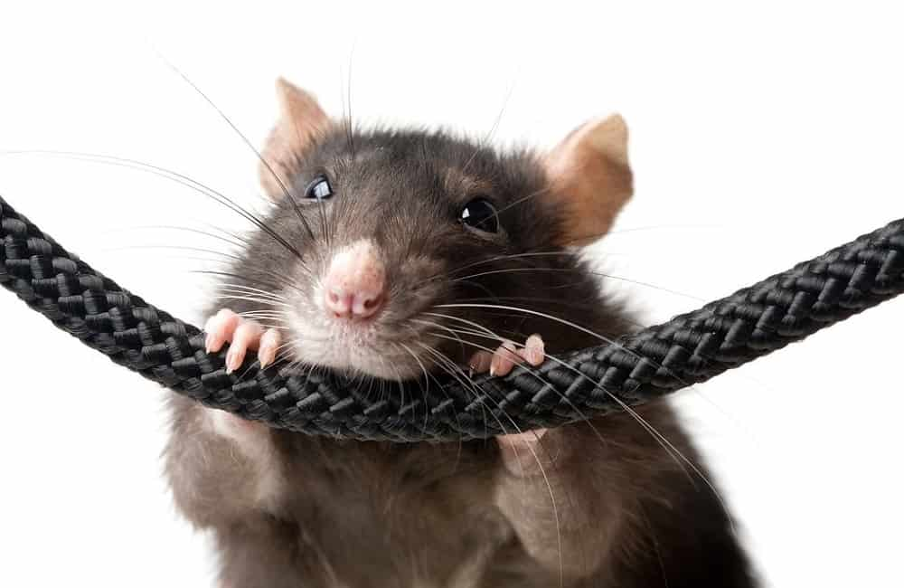 Do Rats Make Noise When They Die