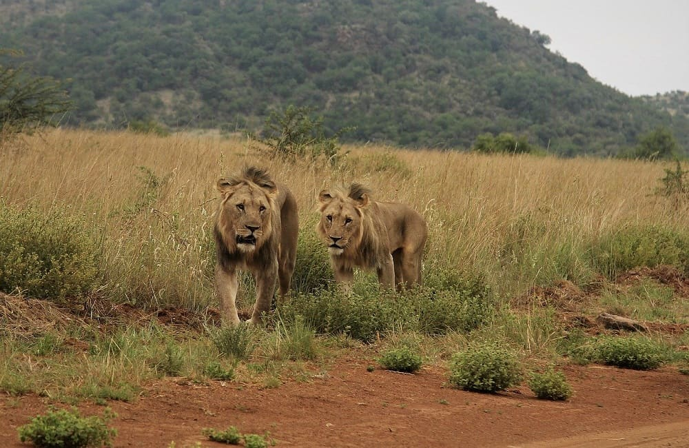 Why Do Lions Eat Testicles
