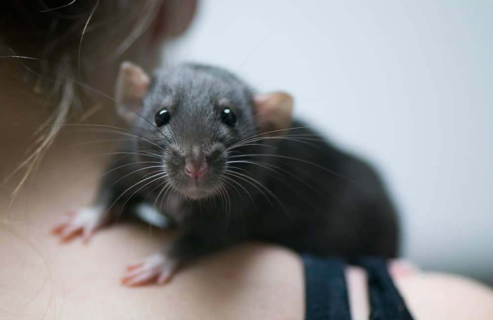 Why Do Rats Eat Soap