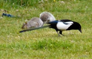 Why Do Squirrels And Magpies Fight
