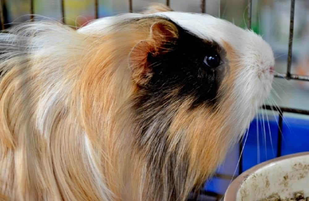 Can Guinea Pigs See Infrared Light