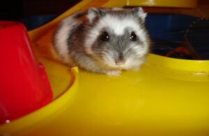 Why Do Hamsters Explode