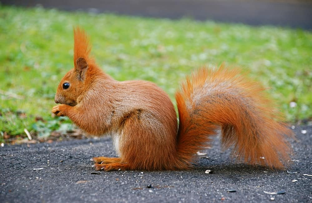 Why Do Squirrels Run In Front Of Cars